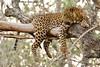 Leopard (male) (Perkins-Boyer Photos) Tags: leopard india wildlife wildanimals safari bigcats