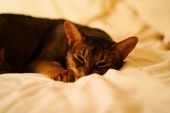 Lizzie on the bed (DizzieMizzieLizzie) Tags: abyssinian aby beautiful wonderful lizzie dizziemizzielizzie portrait cat chats feline gato gatto katt katze katzen kot meow pisica sony animal pet 2017 cute bed siesta yellow neko macska kedi 猫 kočka kissa γάτα köttur kucing kaķis katė кошка mačka gatos kitteh chat ネコ beauty a6500 zeiss fe55mmf18za ilce6500 ilce sel55f18z sonnar awesome digital golden style