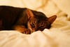 Lizzie on the bed (DizzieMizzieLizzie (off for a while)) Tags: abyssinian aby beautiful wonderful lizzie dizziemizzielizzie portrait cat chats feline gato gatto katt katze katzen kot meow pisica sony animal pet 2017 cute bed siesta yellow neko macska kedi 猫 kočka kissa γάτα köttur kucing kaķis katė кошка mačka gatos kitteh chat ネコ beauty a6500 zeiss fe55mmf18za ilce6500 ilce sel55f18z sonnar awesome digital golden style