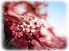 Soft (Silke Klimesch) Tags: sliderssunday postprocessedtothemax flowers blossoms red blue white bokeh dof soft closeup texture layers vignette border frame seasonal advent photoshop on1photoraw on1 berlin deutschland germany olympus omd em5 omzuikomcautos11450mm vintagelens altglas