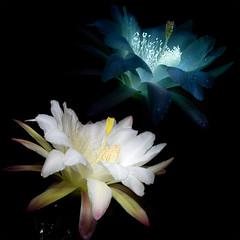 Cereus Flower (C. Burrows) Tags: uvivf flower botany nature cereus cactus