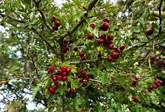 Hawthorn berries on the South Downs Way 1 (Leimenide) Tags: hawthorn red berries autumn south downs way fruit nature bush plant tree