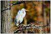 Great Egret on Bald Cypress DSC_9661 (blindhogmike) Tags: eget sumter sc south carolina reiher garceta aigrette vogel pájaro oiseau