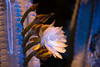 Cereus Flower (C. Burrows) Tags: uvivf flower botany nature cactus cereus