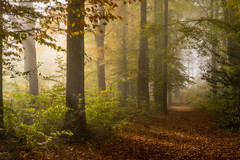 Breaking Through - The Spinney Explored 4/11/17 (Christopher Pope Photography) Tags: beechtrees autumn christopherpopephotography basingstoke chrispope woods mist spinney fog beeches woodlands wwwchristopherpopephotographycom