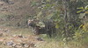 IMG_1015 (jai.mohan90) Tags: tiger royalbengaltiger india wildlife