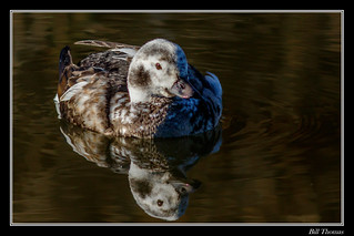 Long-tailed Duck-2