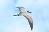 Sooty Tern (tregotha1) Tags: michaelmas cay