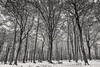 Cold Forest (John Fÿn Photography) Tags: 1635mm 1635mmf40 bw blackandwhite britain cold constantaperture d810 europe england gray greatbritain grey mono monochrome nikkor1635mm nikon nikonfx quiet seasons snow snowing trees uk unitedkingdom white winter bleak forest forestfloor tree trunk trunks vertical woods