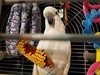 Breaking The Rules Challenges (Corgibird) Tags: corn vegetables birdcage toys clutter perch eating driedfood blur bird parrot pets cuteanimals cellphone cockatoo cockatoos petbirds australianbirds colorful