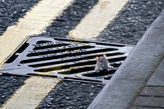 rat (Nils Jorgensen) Tags: nilsjorgensen nils jorgensen rat streetphotography street canpubphoto photography london nj55602ps05bbbbf drainpipe road gutter greaterlondon unitedkingdom gbr animal cute