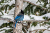Stellar Jay (NiTsClicks) Tags: stellar jay localbirds colorado rocky mountains pentax k3 birdwatching birdsinsnow snow trees birds coolblue blue