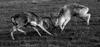 Fighting Bucks