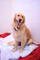 (John Donges) Tags: animal pet dog patient goldenretriever 1387