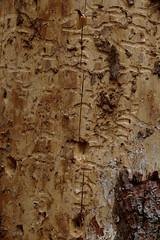 Gars, Thunau (Harald Reichmann) Tags: niederösterreich gars thunau schanzberg holz baumstamm insekt käfer borkenkäfer gang bild muster code rinde specht