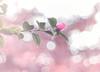 The bud (Tomo M) Tags: camellia sasanqua bokeh backlit sunset light nature autumnleaves momiji petal red pink one 山茶花 蕾 pentacon