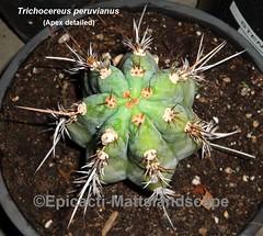 Trichocereus peruvianus -ICAROS DNA (Pic #4 apex detailed) (mattslandscape) Tags: trichocereus peruvianus echinopsis icaro icaros dna peru andes peruvian torch cactus san pedro macho puquiensis tacnaensis torataensis cacti kakteen white nocturnalbloomer alkaloids