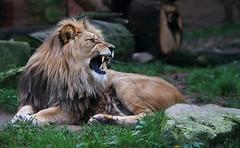 BASU (babsbaron) Tags: nature tiere animals katzen cats raubkatzen bigcats löwen lions berberlöwen zoo hannover