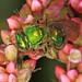 Green Sweat Bee - Augochlorella species, Mason Neck, Virginia