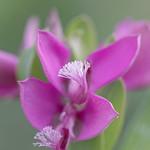 Polygala Myrtifolia thumbnail