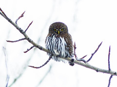 Yesterday's absolute treat - the size of your fist! (annkelliott) Tags: calgary alberta canada fishcreekpark nature wildlife ornithology avian bird birds owl northernpygmyowl glaucidiumgnoma birdofprey perched tree branch frontview popcansized fistsized lowlight hunting stare cute woods park outdoor fall autumn 9november2017 fz200 fz2004 panasonic lumix annkelliott anneelliott ©anneelliott2017 ©allrightsreserved excellence avianexcellence