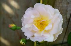 June in the Gardem (Mark Wordy) Tags: mygarden june summer flowers roseladyofthelake climbingrose