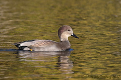 Gadwall (Matt Shellenberg) Tags: duck gadwall gadwalldrake