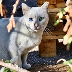 Paul el guaperas #ojos #eyes #gatoscallejeros #cats #photocats #instacats #neko #meow #gatze #gatto #gato #whitecat #gatoblanco #heterocromia #catsofintagram #catsofinsta #catsoftheworld #chat thumbnail