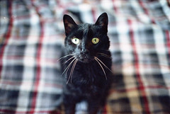Hello (Past Our Means) Tags: cinestill 800t film filmisnotdead filmphotography canon ae1 35mm 50mm tungsten analog analogue istillshootfilm cat beautiful best friend plaid black whiskers white pets pet