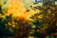 the Autumn galaxies IV (culuthilwen) Tags: sonyalpha230 pentacon135mm pentacon 135mm m42 f28 autumn fall leaves foliage nature bokeh blurry dof red yellow orange gold vintagelens sonysti