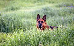 Watchful (MrPuffy) Tags: germanshepherd dog grass outside still