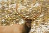 Rack'em up (ChicagoBob46) Tags: bullelk elk bull yellowstone yellowstonenationalpark nature wildlife coth5 ngc sunrays5