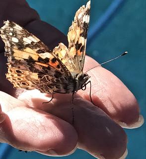 Old Weatherbeaten Monarch Butterfly On Fingertips