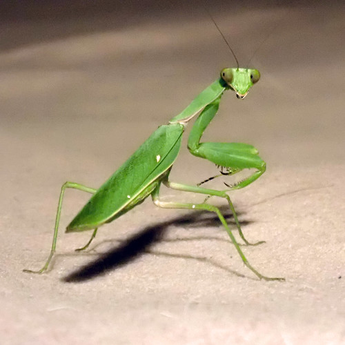 Praying Mantis on my bed after midnight.