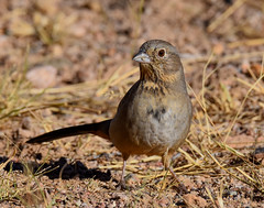 Canyon Towhee (Melozone fuscus): Arizona (mharoldsewell) Tags: 2017 arizona canyontowhee d7200 melozonefuscus nikon november santacruzcounty bird birds mharoldsewell mikesewell photos