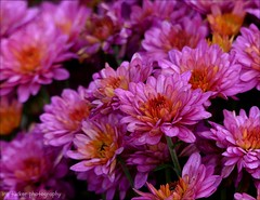 The trouble with the world is that the stupid are cocksure.... (itucker, thanks for 3.6+ million views!) Tags: mum chrysanthemum macro bokeh pink hppt dukegardens