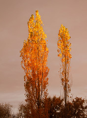 Golden Trees (http://fineartamerica.com/profiles/robert-bales.ht) Tags: emmett haybales idaho land people photo places plants states sunsetorsunrise tree autumn fall colorful orange leaves october bright season nature golden foliage oktoberfest leaffall trees yellow wood sunshine fallcolors autmnlandscape autumnday autumncolors autumnfoliage autumnforest fallfoliage autumnleaves autumntrees falltrees populus ecologist diversifoliapopulus fallingleaves populuseuphratica landscape ecology beautiful leaf outdoors glow robertbales