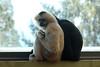 White-cheeked Gibbons (maritimeorca) Tags: animal gibbon mammal nomascusleucogenys piercecounty pointdefiancepark pointdefiancezooandaquarium tacoma washington whitecheekedgibbon zoo