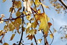 Yellow Leaves And Branches. (dccradio) Tags: lumberton nc northcarolina robesoncounty outdoors outside nature natural sky bluesky clouds scenic beauty beautiful pretty nikon d40 dslr tree trees autumn foliage leaves leaf fall branches treebranches treelimbs sticks yellow yellowleaves