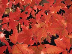 Paperbark Maple Leaves (Sherrye's Art) Tags: autumn tree fall fallcolors leaves sherryesteffens hapaphoto nature olympus em5markii