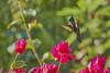 Antillean Crested Hummingbird (ronmcmanus1) Tags: antigua bird caribbean nature outdoors wildlife jollyharbour stmarysparish antiguabarbuda