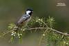 Coal Tit (Nicola Destefano) Tags: coaltit cinciamora periparusater parusater bird animal wildlife wildlifephotography italy oneanimal nobody sideview juniperus onaperch tuscany fulllength
