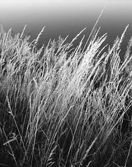 Sea Grass (David Ian Ross) Tags: sea july monochrome hightide evening