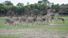 Steppenzebras / Plains Zebras (brainstorm1984) Tags: boteti plainszebra makgadikgadi equusquagga desertdeltasafaris safari burchellszebras makgadikgadipansnationalpark botetiriver botswana zebra pferdezebras wildlife commonzebras steppenzebras plainszebras zebras leroolatau steppenzebra pferdezebra makgadikgadipansgamereserve elangeniafricanadventures burchellszebra commonzebra centraldistrict botsuana bw