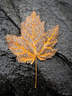 Fallen leaf on schist - Feuille d'érable sur schist