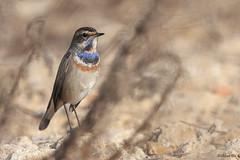Bluethroat (Dave 5533) Tags: bluethroat bird birds birdsinisrael naturephotography wildlifephotography outdoor nature canoneos1dx ef300mmf28lisiiusm wild songbird canonextender2xiii coth coth5 eiap alittlebeauty specanimal sunrays5