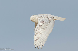 First of the year Snowy Owl. Massachusetts