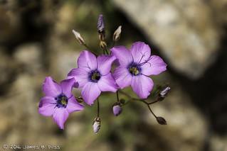 Broad-Flowered Gilia