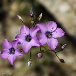 Broad-Flowered Gilia thumbnail