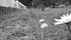 Margaridas B&W (medeirosisabel16) Tags: field flower margarida marguerite daise spring primavera flores branco preto peb bw jardim garden grass caminho path black white tree nature natureza cell phone celular campos do jordão